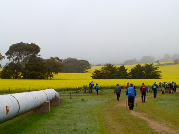 Lavender Federation Trail - Bright yellow hues of canola as we walk by the Swanreach - Stockwell Pipeline