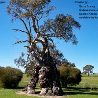 09 Springton - Historic Herbig Tree
